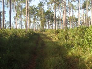 Pine Flatwoods In Lake Wales Ridge is similar to Ocala National Forest